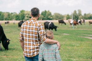 Organic Grass Fed Cattle Graze on a grass field as Father and son watch with pride