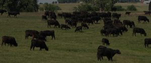 Our grass fed, grass finished beef in raised using regenerative grazing techniques in America