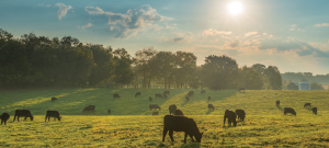 cattle grazing on pureland america farm