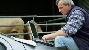 american cattle farmer using laptop by cows
